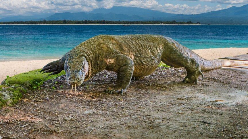 Komodovaranen lever på den indonesiske ø Komodo, og den er verdens største nulevende øgleart. Selvom dens udseende leder tankerne over på fortidens dinosauere, så er fugle nærmere beslægtet med dinosauere, end komodovaraner er.