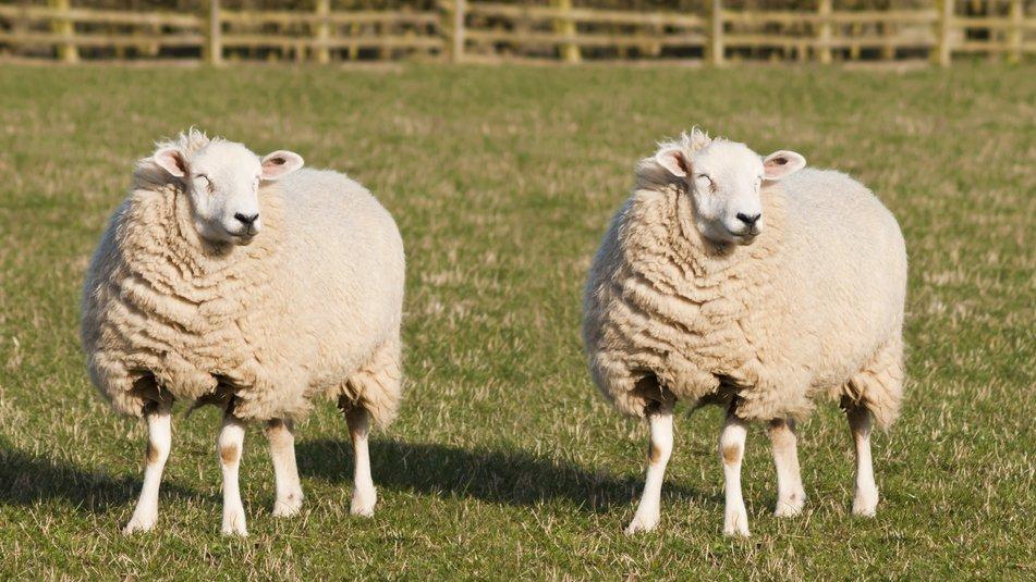 Det klonede får Dolly var det første dyr, der blev klonet af celler fra et voksent dyr. Det skete i 1996 i Skotland.