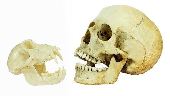 Menneskets kranium har ligheder med en abes kranium.