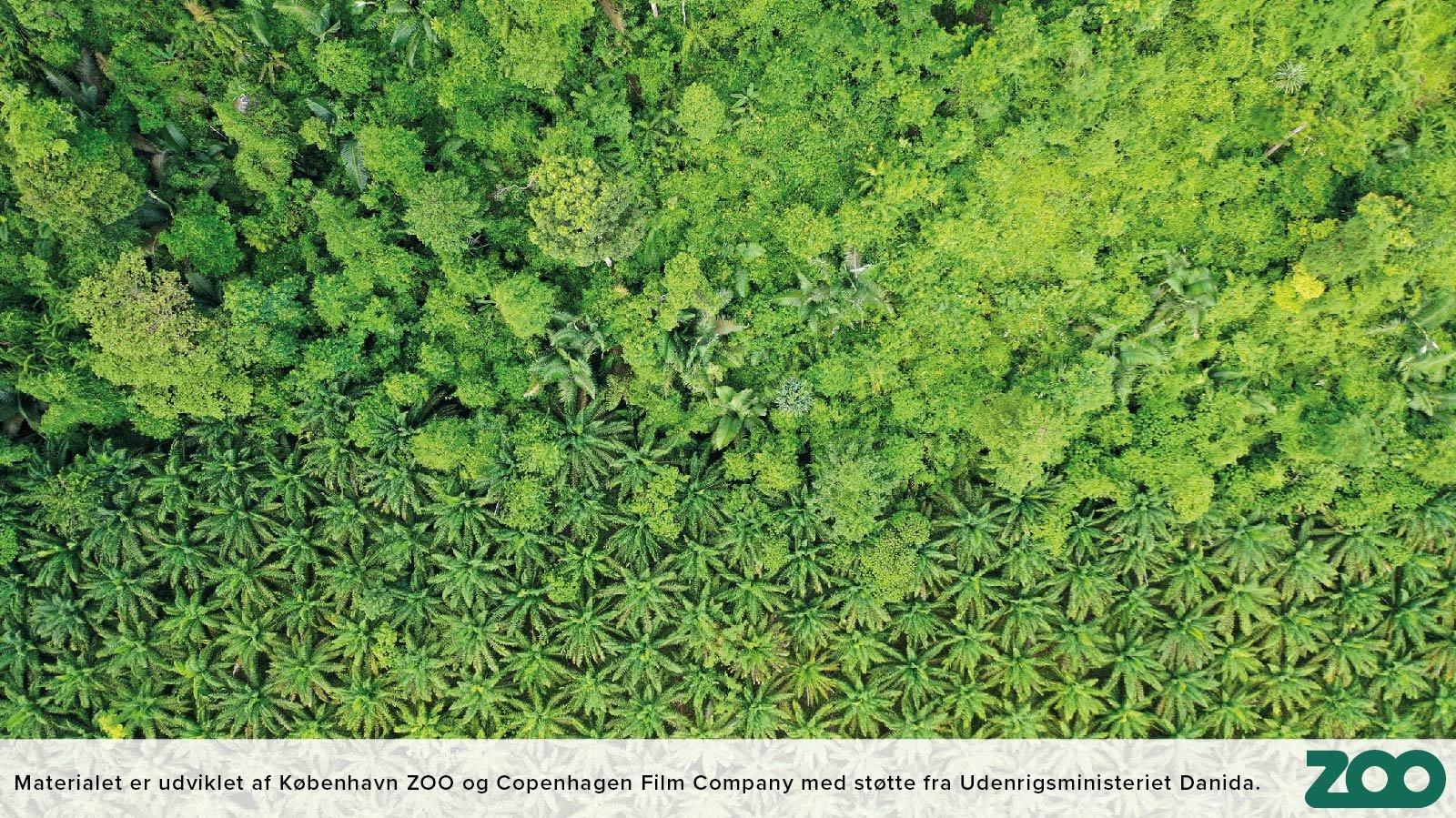 Palmeolie dyrkes på områder, hvor der tidligere var regnskov.
