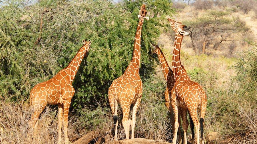 Giraffen er et godt eksempel på et dyr, der har tilpasset sig til sit levested. Med sin lange hals kan den nå blade på træerne, som de andre dyr ikke kan nå.