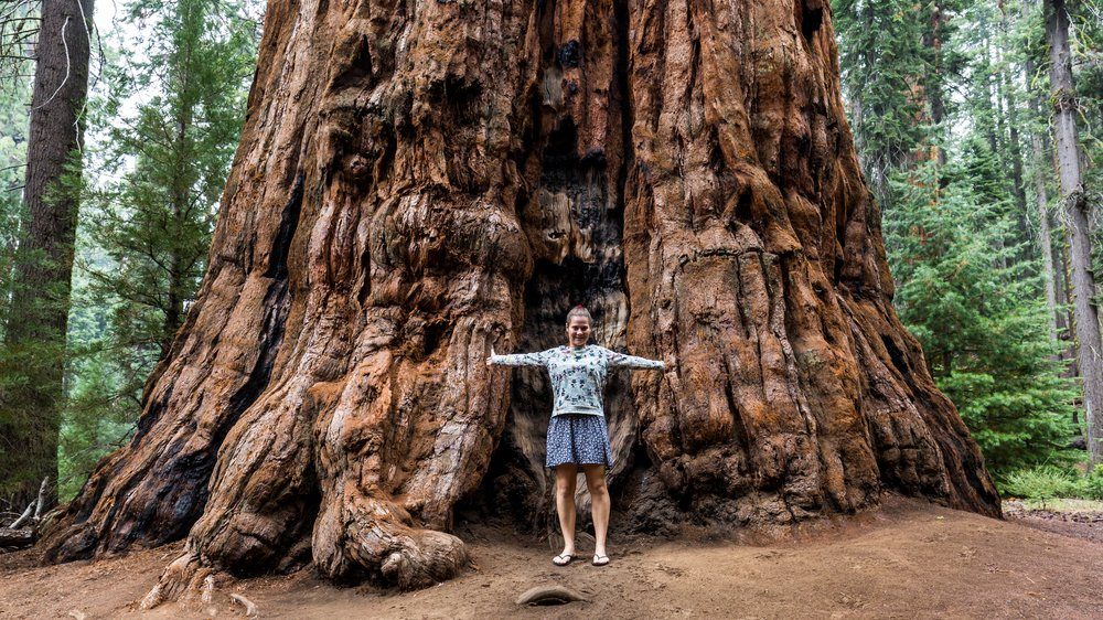 Redwood er formentlig verdens højeste nåletræ og kan blive over 100 m højt med en stammediameter på 8,5 m – takket være træets fotosyntese.