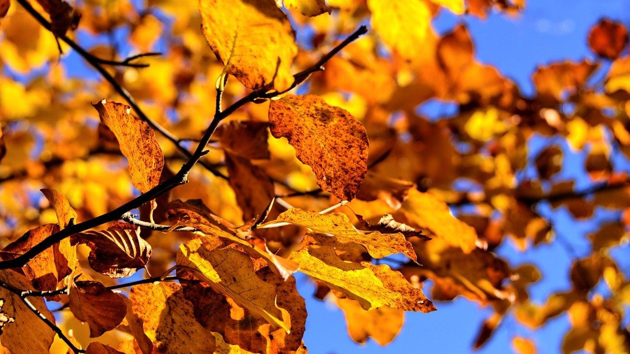 Om efteråret visner bladene på træet.