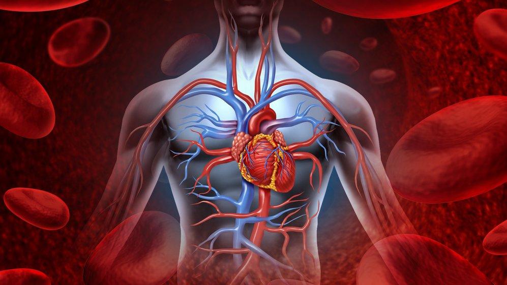 Hjertet er centralt for blodets kredsløb.