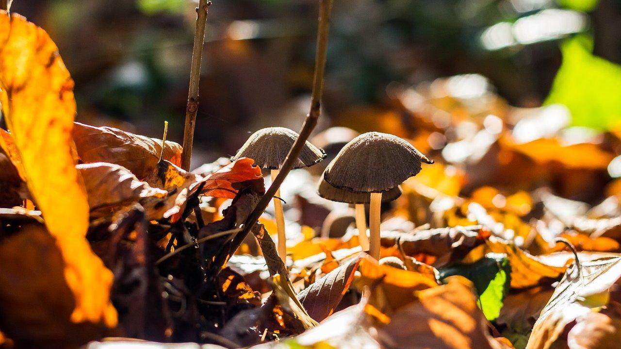 I efteråret myldrer svampene frem. Svampe er vigtige nedbrydere i skoven.