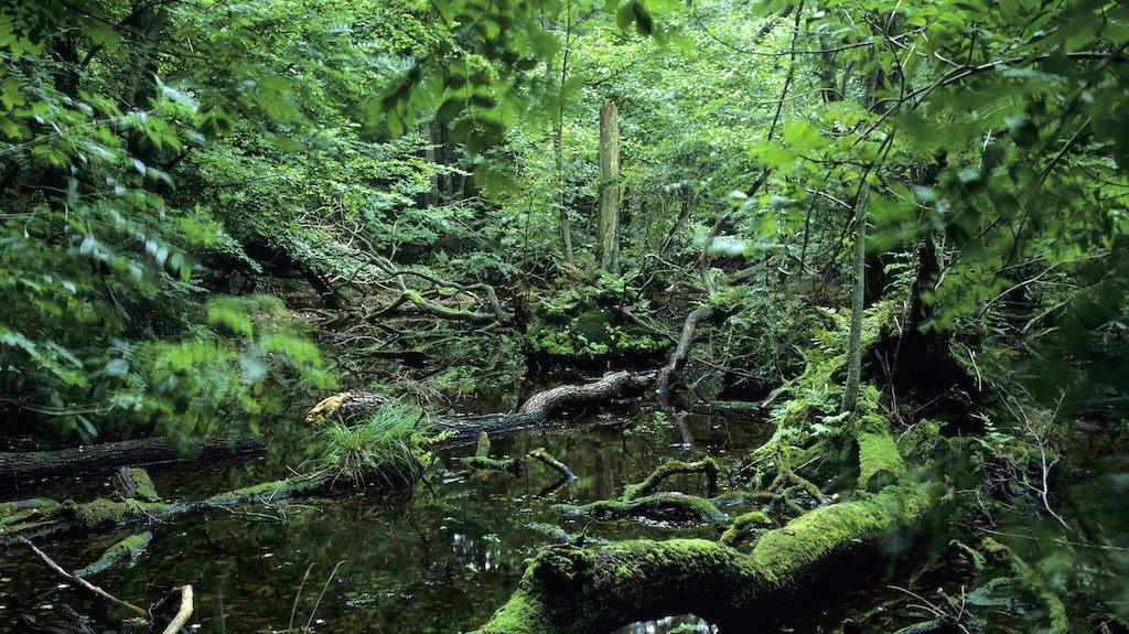 Naturskove med væltede træer og småsøer er sjældne i de danske skove.