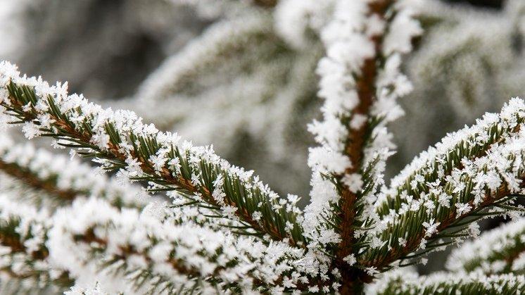 Snefnug på et grantræ. Ser du godt efter, kan du se, at snefnuggene er sat sammen af krystaller.