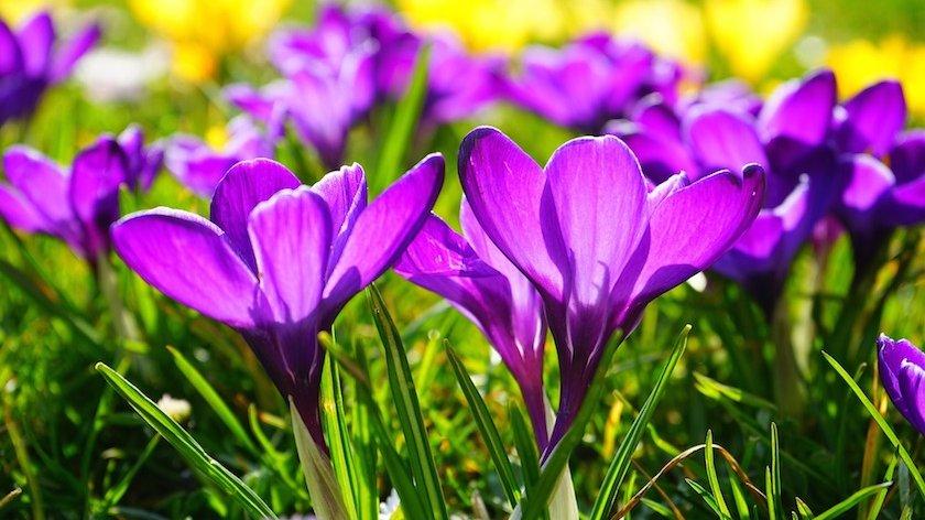 Blomsten krokus er en plante. Men hvad er en plante egentlig?