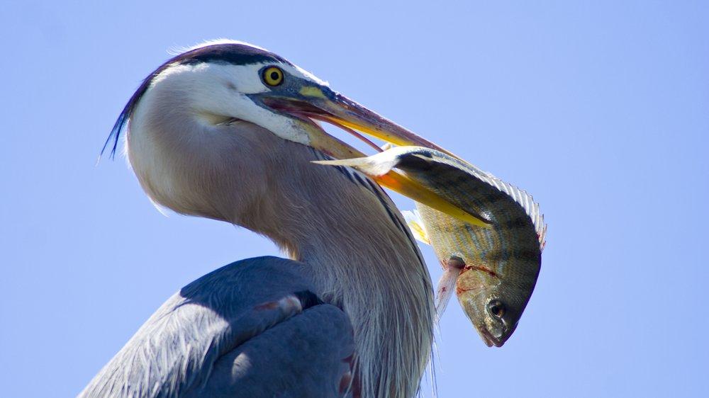 En fiskehejre spiser bl.a. fisk, frøer og større vandinsekter.